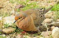 Mourning Dove Male Seedskadee NWR (16950935194).jpg