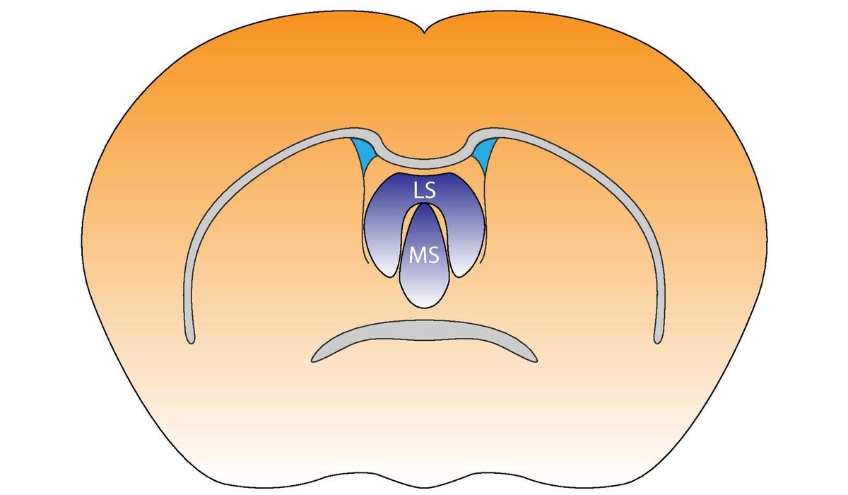 Septal nuclei - Wikipedia
