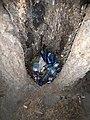 Muğla, dalyan, kordon ağaç2.jpg