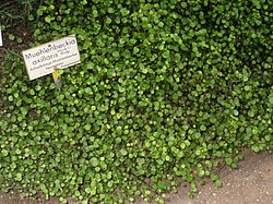 Muehlenbeckia axillaris - Berlin Botanical Garden - IMG 8745.JPG