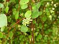 Muehlenbeckia sp. - Missouri Botanical Garden.jpg
