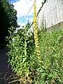 Mullein (Verbascum thapsus) - geograph.org.uk - 890670.jpg
