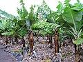 Musa acuminata Gran Canaria 1.JPG