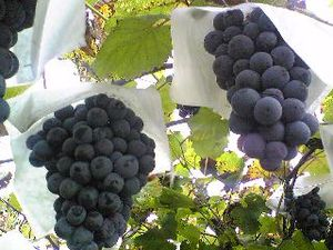 Black muscat grapes on the vine.