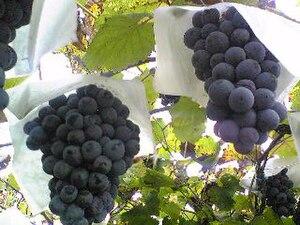 Incrocio Manzoni - Black Muscat, one of the parent varieties of Manzoni Moscato.