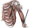 Musculusbrachialis.png