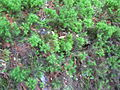 Musgo pinito (Dendrolegotrychum dendroides).jpg