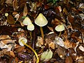Mycena chusqueophila Singer 370808.jpg