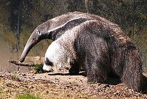 Giant anteater (Myrmecophaga tridactyla), Cope...