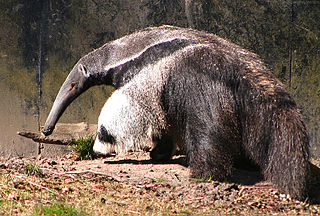 Giant anteater A large insectivorous mammal native to Central and South America