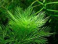 Myriophyllum matogrossense.jpg
