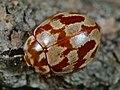 Myrrha octodecimguttata 91026277.jpg