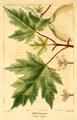 NAS-040f Acer saccharinum.png
