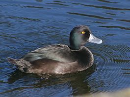 NZ Scaup 02.jpg