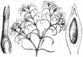 Najas minor - Das Pflanzenreich 1900.png