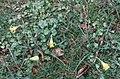 Narcissus minor3.jpg
