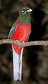 Narina Trogon, Apaloderma narina MALE at Lekgalameetse Provincial Reserve, Limpopo, South Africa (14468213328).jpg