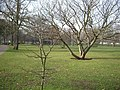 National Collection of Liquidambar - geograph.org.uk - 111226.jpg