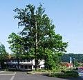 Naturdenkmal Eiche und Buche im Kreis Soest in Wickede auf dem Parkplatz Kirchstraße u. Christian-Liebrecht Straße 1.JPG