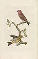 Nederlandsche vogelen (KB) - Loxia curvirostra (221pl).jpg