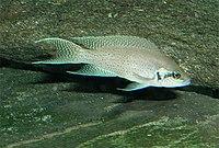Neolamprologus brichardi.jpg