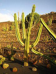 Neoraimondia Herzogiana.jpg