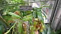Nepenthes burkei USBG 1.JPG