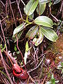 Nepenthes villosa red pitcher.jpg