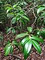 Nestegis sandwicensis (5516713670).jpg