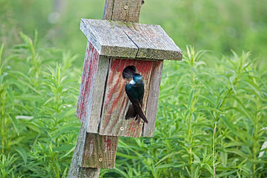 Nesting Tree Swallow in Herkimer County, New York 3.jpg