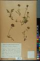 Neuchâtel Herbarium - Anthyllis cherleri - NEU000034026.jpg
