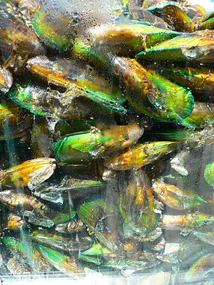 Aquaculture in New Zealand - Green lipped mussel in a tank