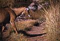Nilgai (Boselaphus tragocamelus) female (20347744035).jpg