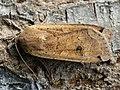 Noctua pronuba - Large yellow underwing - Ленточная совка большая (39280514080).jpg