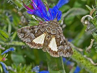 <i>Syngrapha ain</i> Species of moth