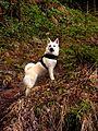 Norsk Buhund6.jpg
