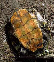 Northern Map Turtle, plastron.jpg