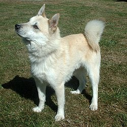 Norwegian Buhund Spitz Breeds Type