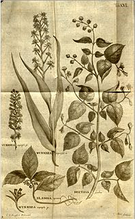 Claës Fredrik Hornstedt Swedish botanical illustrator (1758-1809)