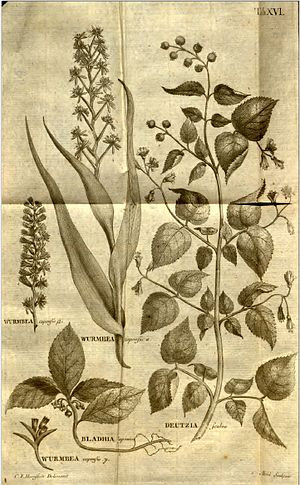 Claës Fredrik Hornstedt - Botanical illustration by Hornstedt Plate 16 from Nova genera plantarum