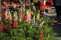 Novi Sad, Spens, květinový trh, vlčí bob II.jpg