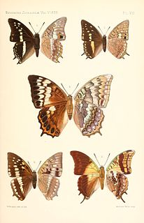 <i>Charaxes thomasius</i> species of insect