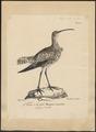 Numenius tenuirostris - 1825-1830 - Print - Iconographia Zoologica - Special Collections University of Amsterdam - UBA01 IZ17400057.tif