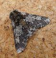 Oak Beauty. Biston strataria. Goemetridae. Ennominae. - Flickr - gailhampshire (1).jpg