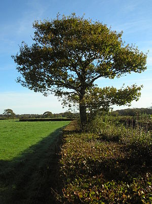 Hedge - Oak and beech hedges are common in Great Britain