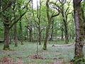 Oak trees in Franchises Wood - geograph.org.uk - 176027.jpg