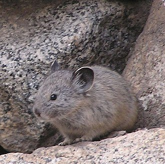 American pika - The American pika's cryptic coloration helps it blend in with its environment in the Sierra Nevada.