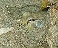 Octopus (2345817465).jpg