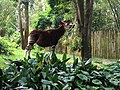 Okapi Disney World Animal Kingdom 2019.jpg