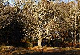 Old oak amongst many others at Femöre, Sweden II.jpg